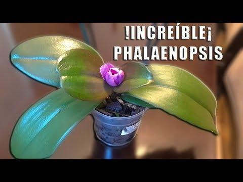 Videos caseros - !INCREÍBLE¡ Phalaenopsis con una sola flor  Orquiplanet