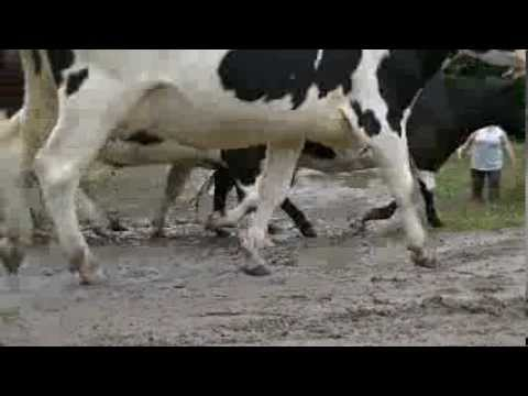 Krowy na Rajdzie Polski