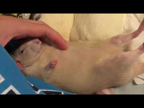 Rats are ADORABLE - Cute Rat Compilation!