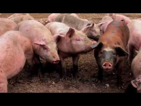 Aubrey Allen Free Range Pork - Blythburgh