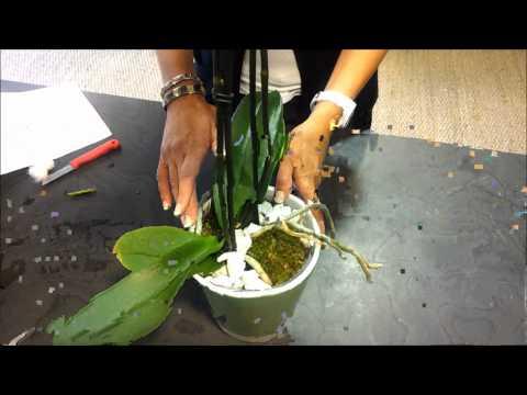 comment soigner orchidées