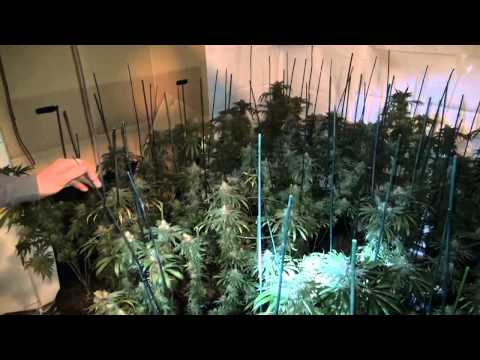 Large marijuana grow house bust