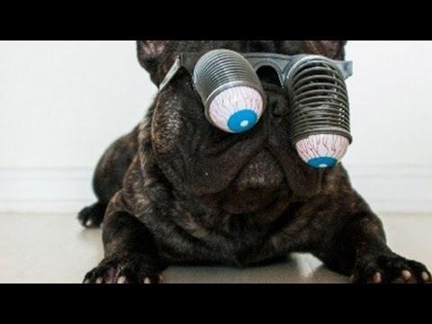 top 10 furbissimi bulldog francesi!