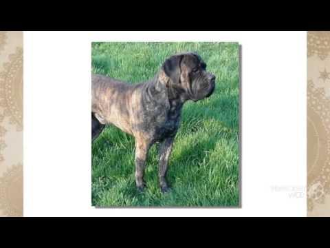 Cao dos Mourey Dog breed (видео)