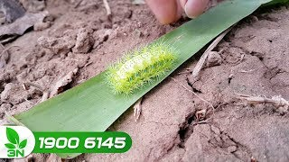 Trồng trọt | Diệt trừ bọ nẹt trên cây chuối: Nỗi