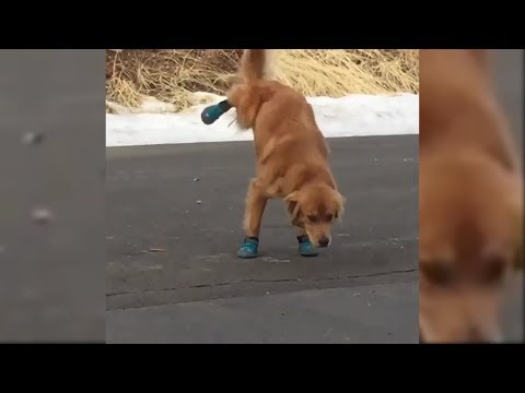 Doggo Doesn't Like His New Shoes 😂😂