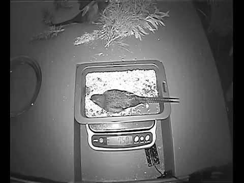 Brutus and Dawn the Western Ground Parrots on CCTV at Perth Zoo