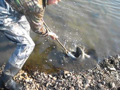 рыба змейголова как ловить
