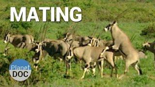 Mating. Shaba Animals  | Nature - Planet Doc Full Documentaries