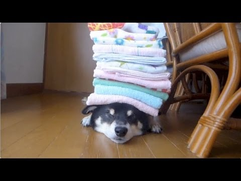「[イヌ]頭の上にハンドタオルを積まれる黒柴さんの表情が完全に癒し系」のイメージ