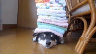 Putting Towels On Shiba Inu!