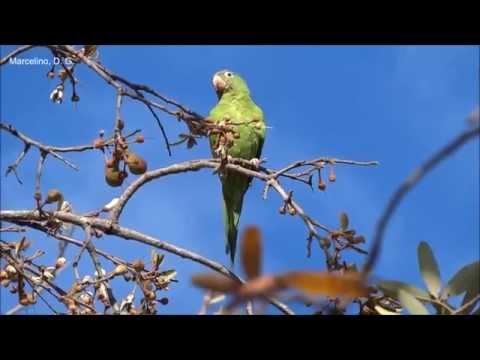 Aves do Brasil: Periquito-de-encontro-amarelo cantando e se alimentando de Paineira-do-campo