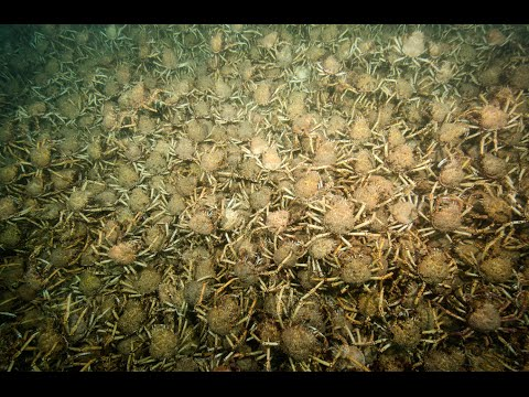 The army of giant crabs invades the ocean floor