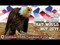 The Bald Eagle That Would Not Quit  Bald Eagle Rescue Short Film  Wildlife Documentary
