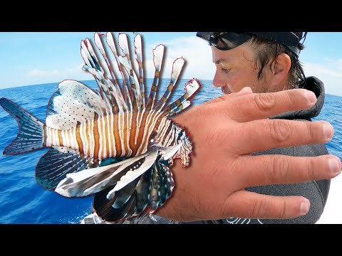 Venomous Lionfish Sting Three Times at Once!
