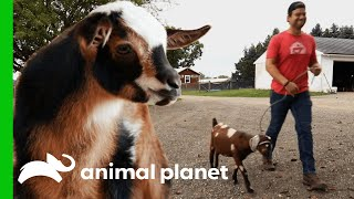 Blind Goat Is Perfect Roommate For Plucky Kid In Recovery | Saved By The Barn by Animal Planet