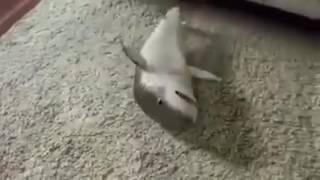 Download Video melatih ikan hiu MP3 3GP MP4