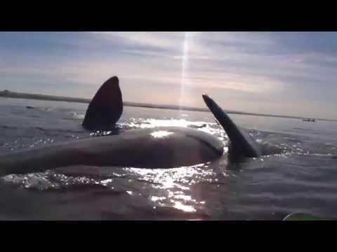 wyprawa-kajakiem-moze-skonczyc-sie-spotkaniem-z-wielorybem-