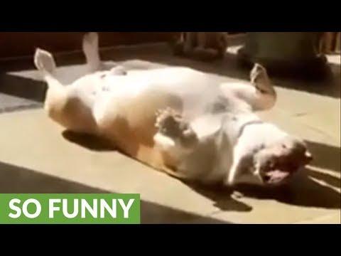 il-bulldog-che-dorme-a-pancia-allaria