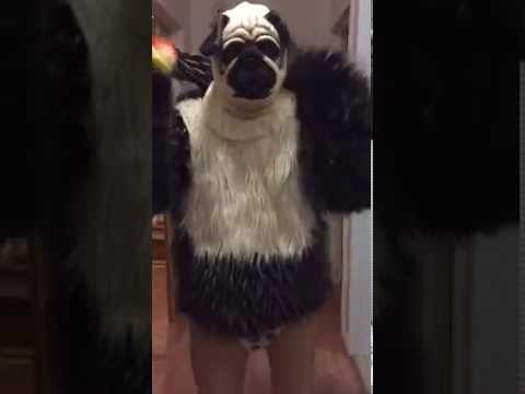 Pitou singe bébé  Halloween costume , doggy monkey baby