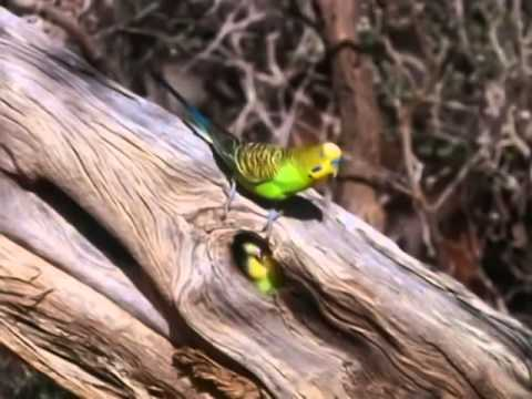 Video BBC documentary 2014 The Wild Bush Budgie Nature Documentary download in MP3, 3GP, MP4, WEBM, AVI, FLV January 2017