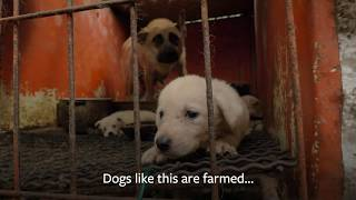 South Korea's Dog Meat Trade by The Humane Society of the United States