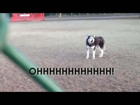 lhusky-che-non-vuole-lasciare-il-dogpark
