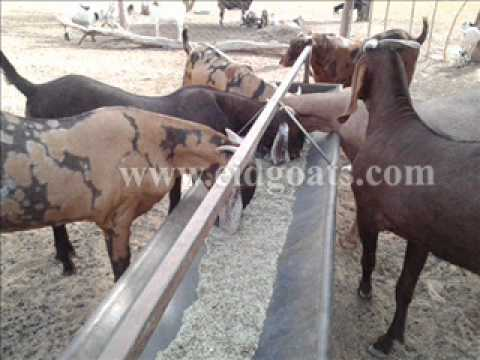 rajasthan goat farming - Al-Buraq Goat Farm Supply Eid Goats, Sirohi Goat and Sojat Goat. Also Goats for Breeding.