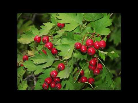 Боярышник кроваво красный (растения полезные и ядовитые для кроликов)