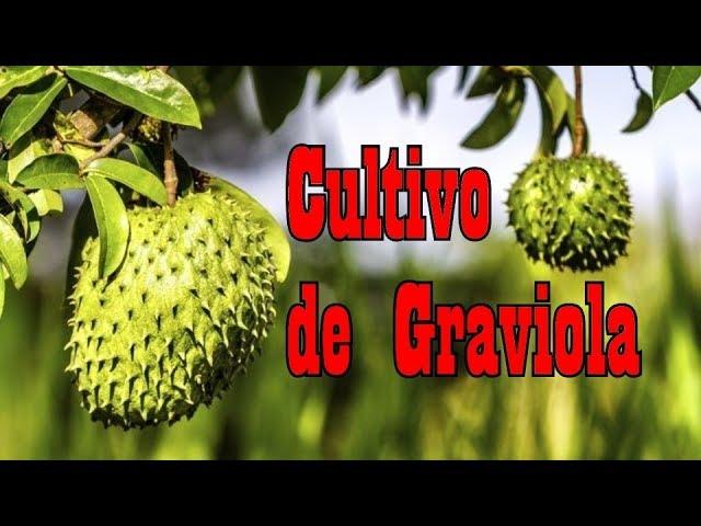 Como Cultivar Graviola