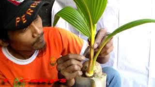 Video cara proses bonsai kelapa MP3, 3GP, MP4, WEBM, AVI, FLV September 2017