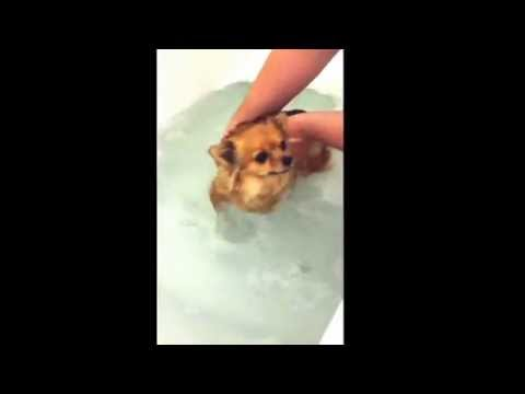 Funny swimming Chihuahua dog/Hund schwimmt/plantscht süß