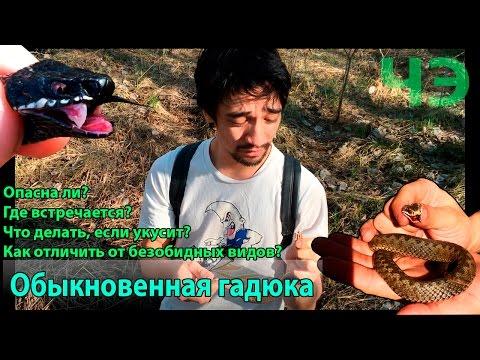 Гадюка обыкновенная. Как избежать укуса гадюки О первой помощи в случае укуса змеи - DomaVideo.Ru