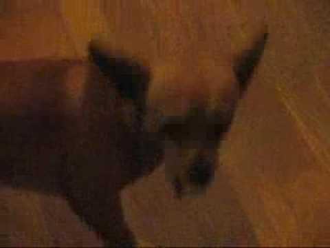 Chihauhau Deer Dog