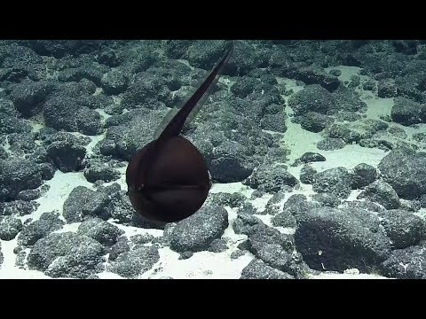 Gulper Eel Balloons Its Massive Jaws