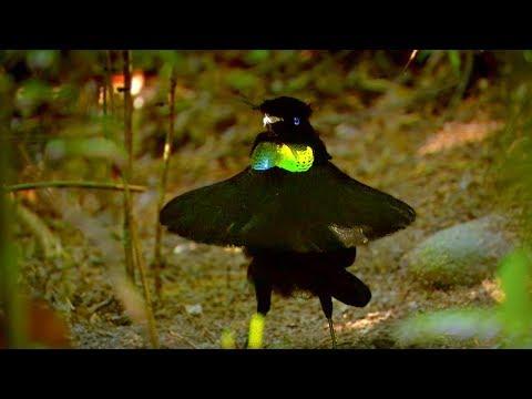 Paradijsvogel uiterlijk telt