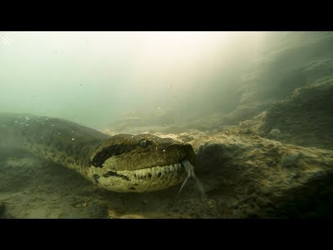Diver has incredible face to face encounter with giant anaconda.