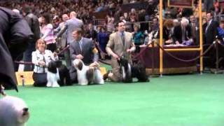 Nonton The 135th Westminster Dog Show   2011 Nyc    Tibetan Terriers Ring 6 Film Subtitle Indonesia Streaming Movie Download