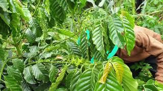 Vườn cà phê mẫu cho Tây Nguyên