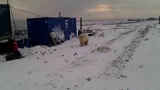 На Ямале белые медведи пришли охотиться на песцов в соседний посёлок