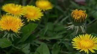 Dandelion Time lapse