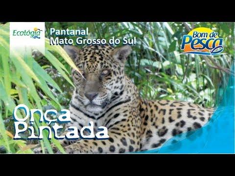 Onça Pintada - Pantanal Sul