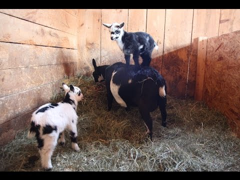 Baby Goats Practice Parkour on Their Mom