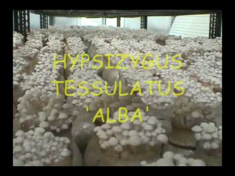 Automated Mushroom Cultivation