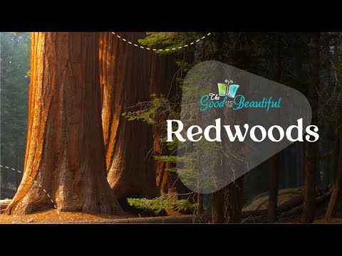 Redwoods | Fun Facts About Redwood Trees | The Good and the Beautiful