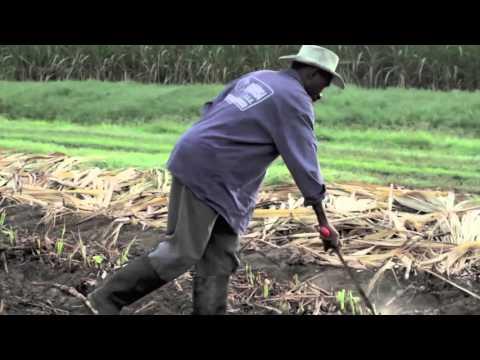 De Traje & Overol: ¿Azuquitar pal´café? Santos destruye la agroindustria colombiana