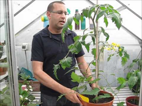 Tomato growing tips in summer [video]
