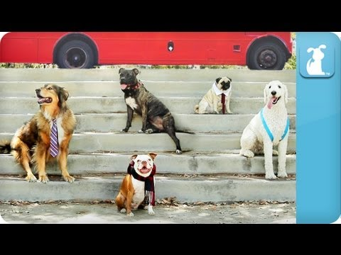 köpekler - Pup Direction - One Bark Subscribe to The Pet Collective: http://full.sc/HbM62v Facebook: http://www.facebook.com/thepetcollective Twitter: https://twitter.c...