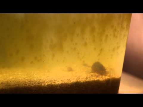 Monsterkrebs in Waschschüssel / Urzeitlicher Rückenpanzerkrebs Carapaxkrebs