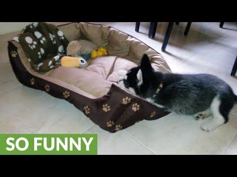 la-cucciola-di-husky-che-si-rifa-il-letto